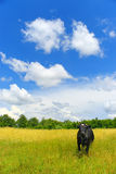 Cow on a meadow. A black cow on a solar meadow Royalty Free Stock Photos
