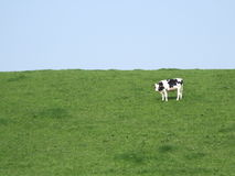 Cow in a meadow. Cow, grass and sky Royalty Free Stock Images