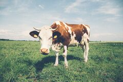 Cow in the meadow Stock Image