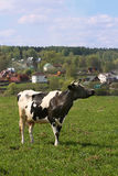 Cow at the meadow. Grazing cow at the meadow in front of village Royalty Free Stock Photography