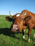 Cow at the meadow Royalty Free Stock Image