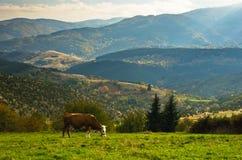 Cow on a meadow at autumn, mountain Goc Royalty Free Stock Photos