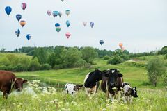 Cow in a meadow on a background. Of flying balloons royalty free stock photos