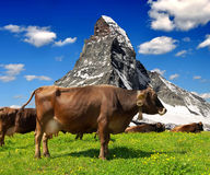 Cow in the meadow.In the background of the Matterhorn Royalty Free Stock Photo