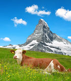 Cow in the meadow. Royalty Free Stock Photography