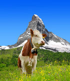 Cow in the meadow Royalty Free Stock Images