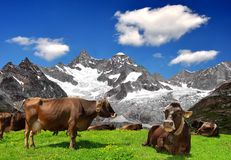 Cow on the meadow. In the background of the Ober Gabelhorn -Swiss Alps stock photo