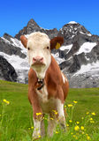 Cow on the meadow. In the background of the Ober Gabelhorn -Swiss Alps royalty free stock photography