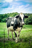 Cow in meadow Royalty Free Stock Photography