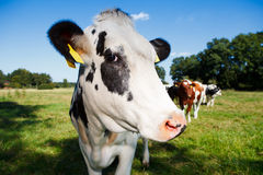 Cow. On a meadow with blue sky Stock Photo