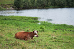 Cow in the meadow. Brown cow on a green meadow in summer Stock Images