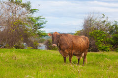 The cow on the meadow Royalty Free Stock Photo