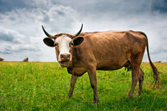 Cow on the meadow Royalty Free Stock Photo