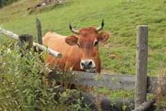 Cow. On a meadow in Carpathians Stock Photography