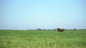 Cow in the meadow chew grass. Milk cow grazing. Farm cattle grazing in field.