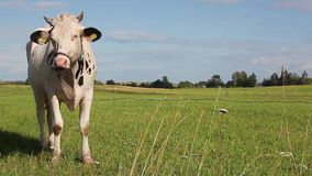 Cow in a meadow stock video footage