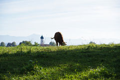 Cow on a meadow Stock Images