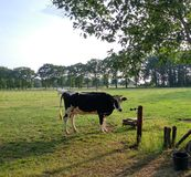 Cow in meadow royalty free stock photo