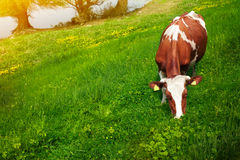 Cow on the meadow. With water in the background stock images