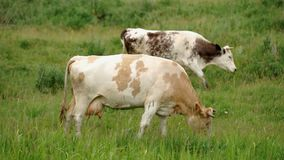 Cow in the Meadow stock video footage