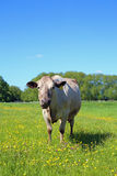 Cow in a meadow Royalty Free Stock Photos