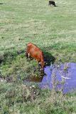 Cow on meadow drinks Royalty Free Stock Photo