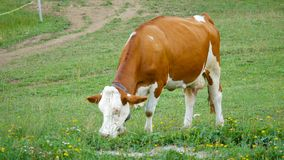 cow meadow eating grass stock video footage