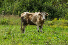The cow in the meadow. Stock Photo
