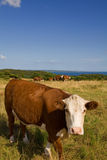 Cow meadow field Stock Photos