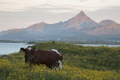 Cow meadow field. Cow standing meadow in Lofoten, Norway. Mountains in background lit by the midnight sun Royalty Free Stock Photos