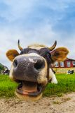 Cow on a meadow Stock Image
