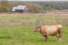 A cow in a meadow in front of house. Earlyautumn Stock Photography