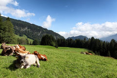 Cow meadow in germany Royalty Free Stock Photos