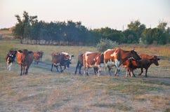 Cow at meadow Stock Photos
