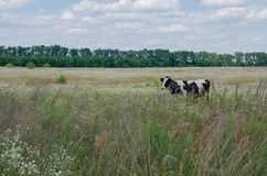 Cow in meadow grass and flowers in summer Royalty Free Stock Image