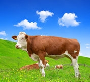 Cow in the meadow. Cow grazing in a meadow Stock Images