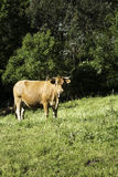 Cow in meadow Stock Photography