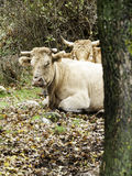 Cow in meadow. Cow on meadow grazing, animals and nature stock photography