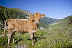 Cow in the meadow Royalty Free Stock Photography