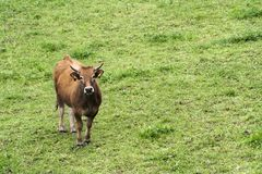 Cow in a meadow stock photos