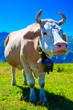 Cow on meadow Royalty Free Stock Photos