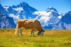 Cow on meadow Stock Photos
