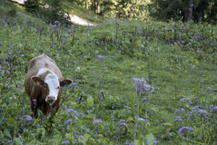 Cow in meadow. Hiking through the Bavarian Alps of Southern Germany Stock Photography