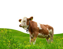 Cow in the meadow Stock Images