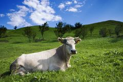 Cow and meadow large. Cow lying on green grass in sunny meadow under blue sky Stock Image
