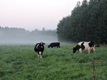 Cow in meadow, Lithuania Stock Photography