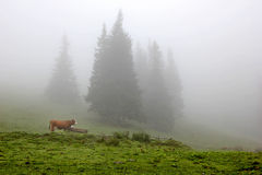 Cow in the meadow in the misty forest Stock Images
