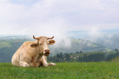 Cow in meadow with misty hills Stock Photo
