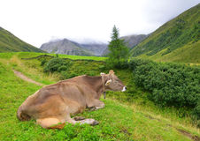 Cow in the meadow Stock Photo