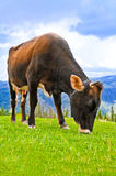 Cow on meadow at mountains landscape Stock Images